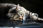 Lounging Cat on car
