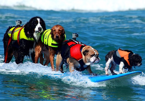 5 dogs surfing