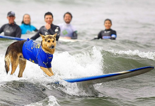 Surfing compeition for dogs