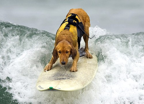 Surfing Golden