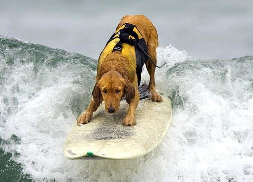 Surfing Golden