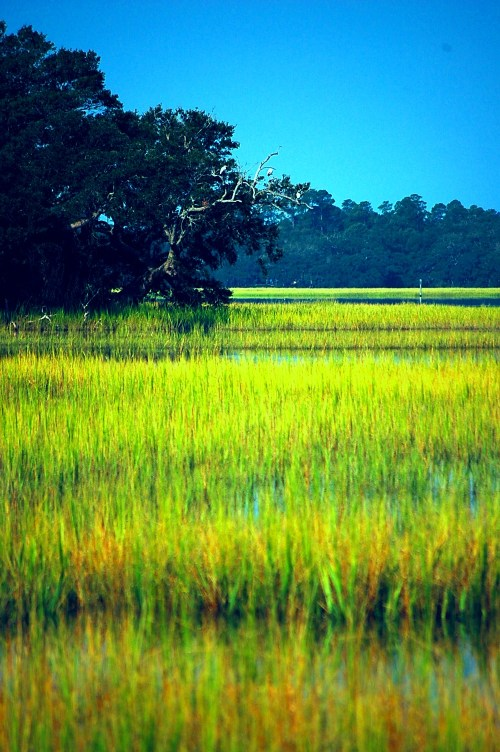 Charleston Marsh Grass