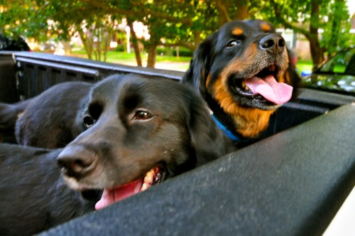Dogs in a pick up